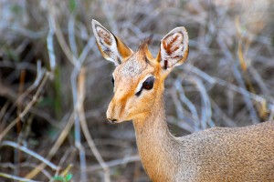 Dik dik!!!