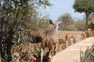 Kudu wandering on the path